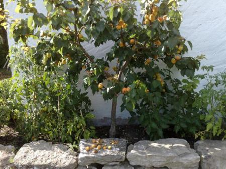 !cid_200808141449 aprikosträd