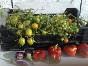 !cid_200810131565 tomatskörd